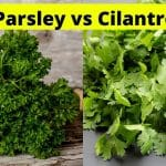 Parsley vs Cilantro – What Are The Differences?