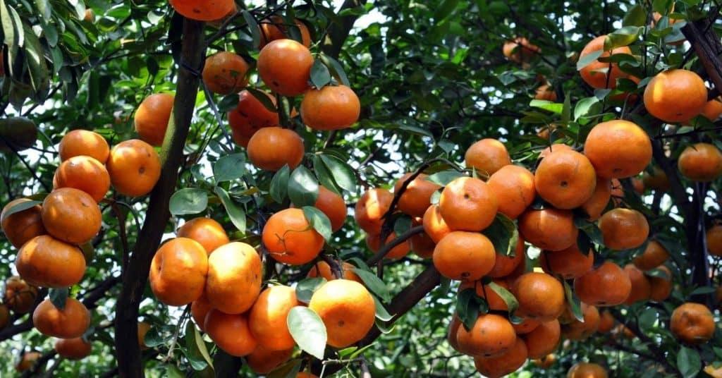 tangerine vs clementine