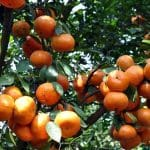 Tangerine vs Clementine – What Are The Differences?