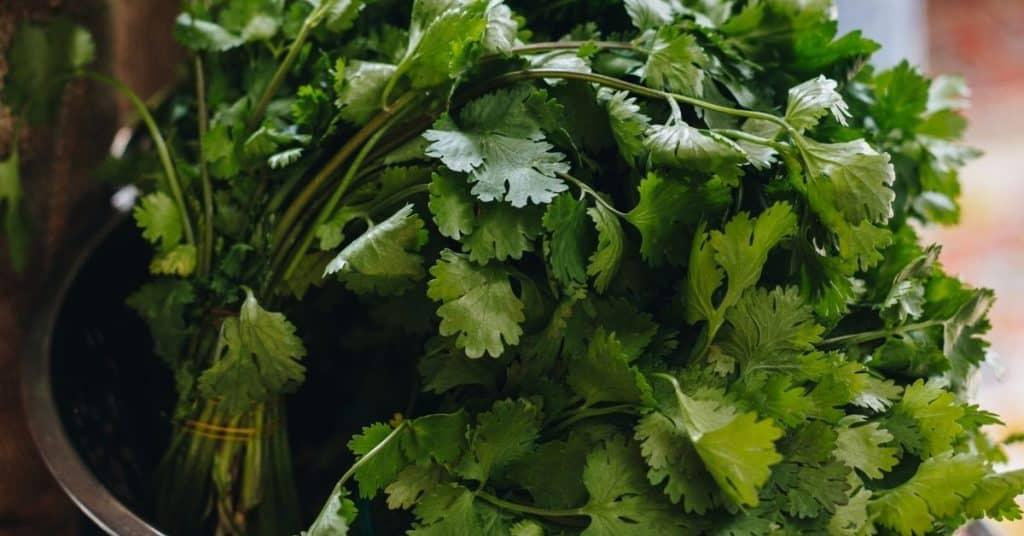 freeze cilantro